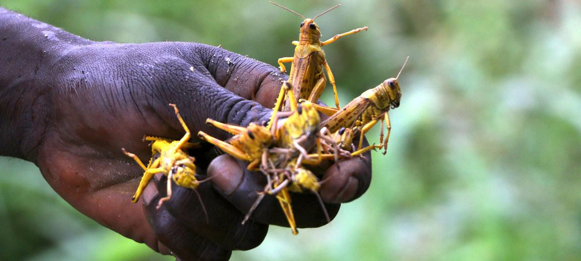 Nuevos enjambres de langostas amenazan con diezmar granjas en África oriental